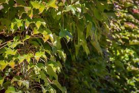 Dzikie wino (winobluszcz) - charakterystyka, zdjęcia, uprawa, porady