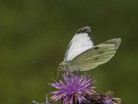 TOP 5 najbardziej znanych gatunków motyli w Polsce