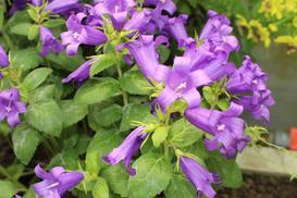 Dzwonek ogrodowy - odmiany, wymagania, uprawa, porady