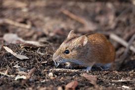 Odstraszasz na myszy – rodzaje, działanie, skuteczność porady