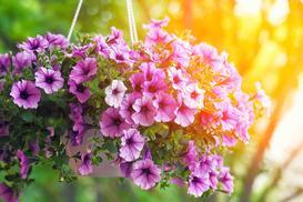 Petunia zwisająca - rodzaje, wymagania, stanowisko, porady