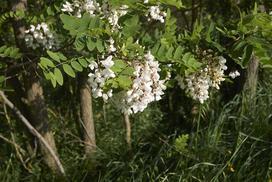 Robinia biała – opis, wymagania, pielęgnacja, przycinanie