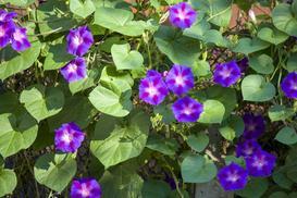 Wilec purpurowy - charakterystyka, wymagania, wysiew, pielęgnacja