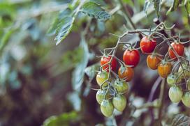 Jak hodować pomidory na balkonie - sprawdzony poradnik