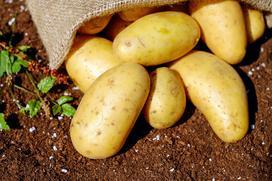 Uprawa ziemniaków na działce