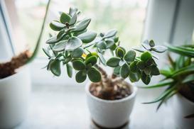 Crassula ovata (grubosz jajowaty) – opis, wymagania, uprawa, porady