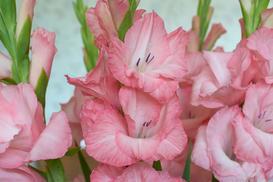 Gladiole (mieczyki) – opis, wymagania, uprawa, porady praktyczne