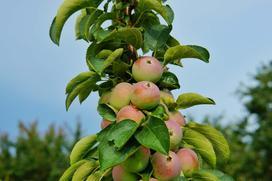 Drzewka kolumnowe - odmiany, wymagania, sadzenie, pielęgnacja