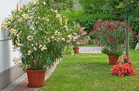 Oleander a choroby, uprawa w zimie i pielęgnacja przez cały rok