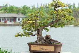 Drzewko bonsai – cena, pielęgnacja, odmiany