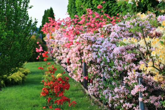 krzewy kwitnące