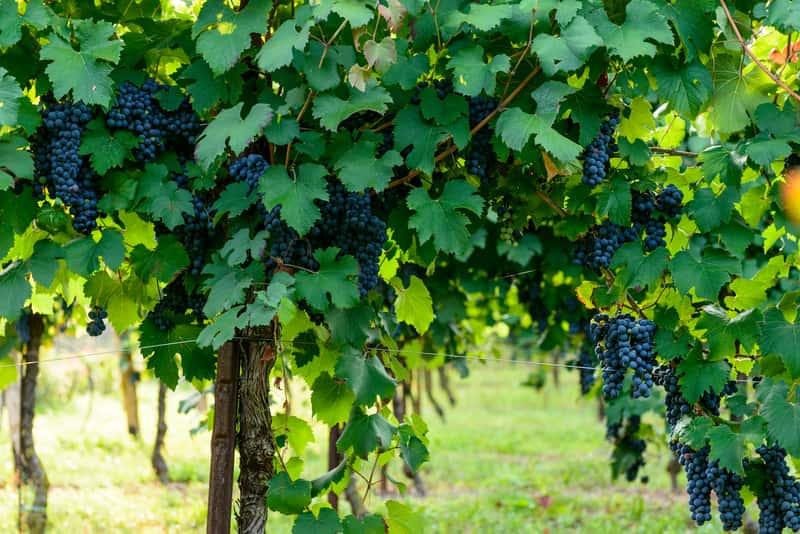 Uprawa I Ciecie Winogron Porady Praktyczne