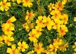 Aksamitka wąskolistna - odmiany, rozstawa, uprawa, pielęgnacja, porady