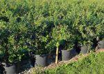 Borówka amerykańska – właściwości, uprawa, odmiany, sadzenie, pielęgnacja, porady