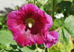 Malwa w ogrodzie - odmiany, sadzenie, uprawa, pielęgnacja, ciekawostki