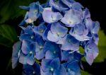 Hortensja ogrodowa - odmiany, uprawa, pielęgnacja, ceny sadzonek
