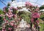 Róże pnące w ogrodzie - pielęgnacja, uprawa i inne porady