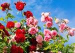Najpopularniejsze róże rabatowe w polskich ogrodach